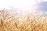 Harvest Wheat Field
