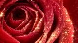 Valentines Rose 720p