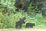 Moose and Bear cut-outs in Woods (Wideshot)