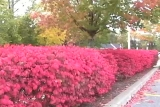 Red Bushes (Angled Shot)