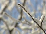 Snow Twig
