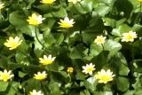 Yellow Flowers Short Loop L2