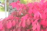 Red Bush (Extreme Closeup)