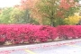 Red Bushes with Trees