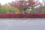 Red Bushes with Tree (Wideshot)