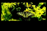Yellow Butterfly Background Loop L42
